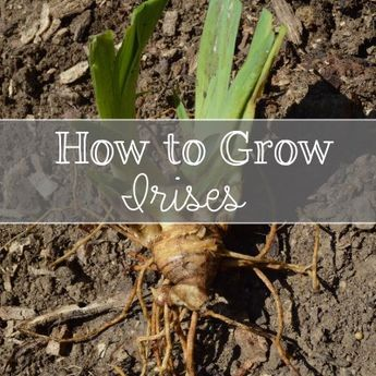 Everything you need to know about growing irises.