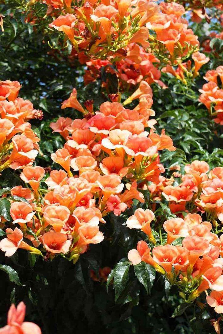 Planta Trepadora De Rapido Crecimiento Campsis Virginia Jasmine
