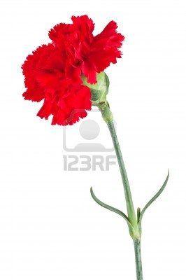 de rode anjer symbool voor passie, bewondering en verlangen naar iemand.