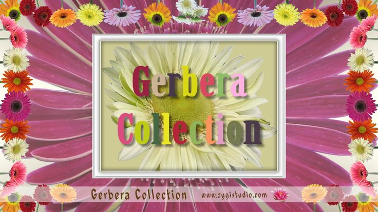 Opening Gerbera Collection.