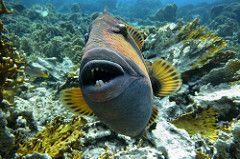 Ko Lipe Diving - Titan triggerfish (Balistoides viridescens) - Koh Lipe, Thailand, Tarutao National Marine Park | by Ko Lipe Diving