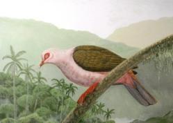 La paloma rosada de Reunión