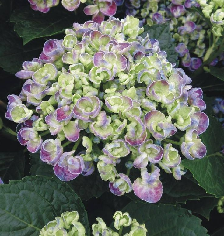hydrangea macrophylla 39 curly wurly 39 hortensia pinterest. Black Bedroom Furniture Sets. Home Design Ideas