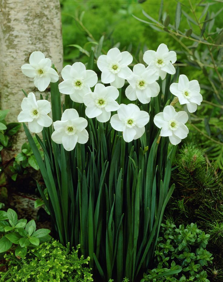 Narcissus 'Green Pearl' Daffodils