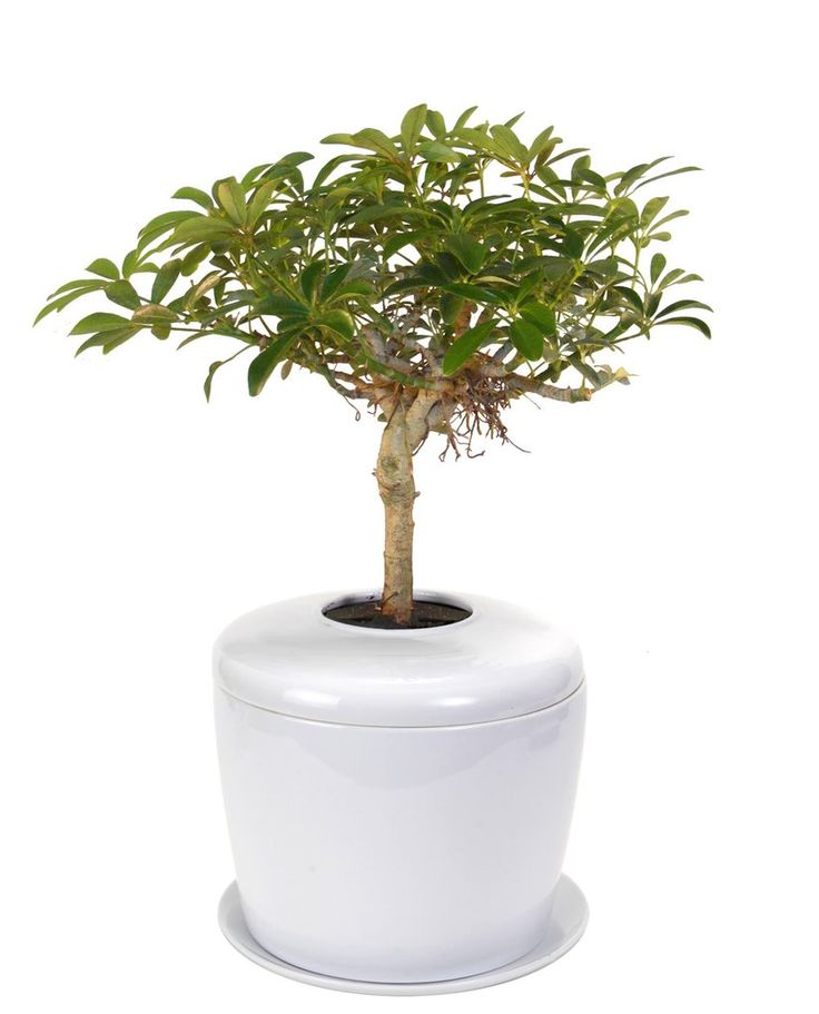Memorial Ash Planting System with Live Bonsai Tree – White