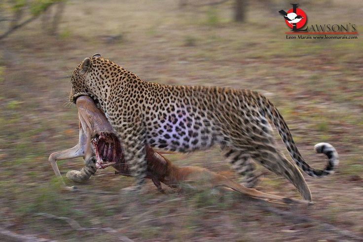 Killer on the move, Sabi Sand Game Reserve. #safari #wildlife