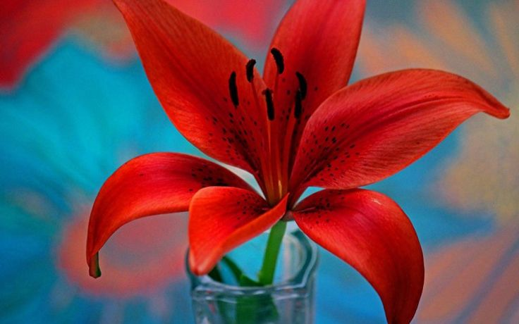 Red Lily Flower Wallpaper