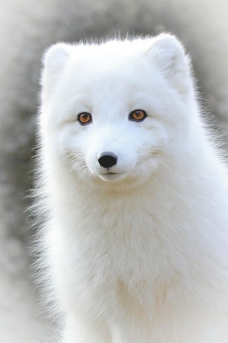 arctic fox cute white - photo #12