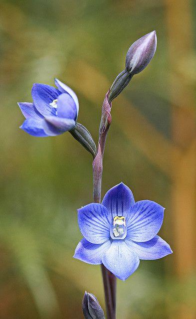Sun-Orchid: Thelymitra erosa - Flickr - Photo Sharing!