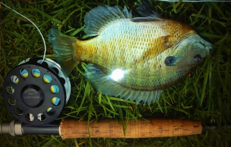 69 best images about blue gill on pinterest fishing for Fly fishing kauai