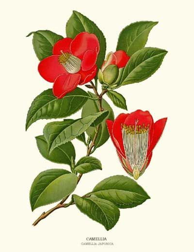 Camellia Flower Line Drawing : Best images about camellia 茶花 on pinterest growing up