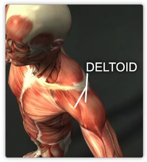 Image result for deltoid muscle