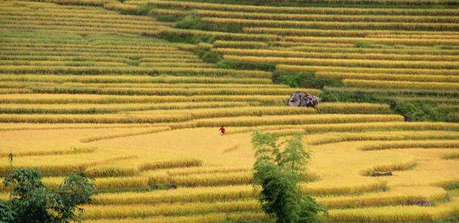 Rice crop on terraced fields in Lao Cai, Vietnam