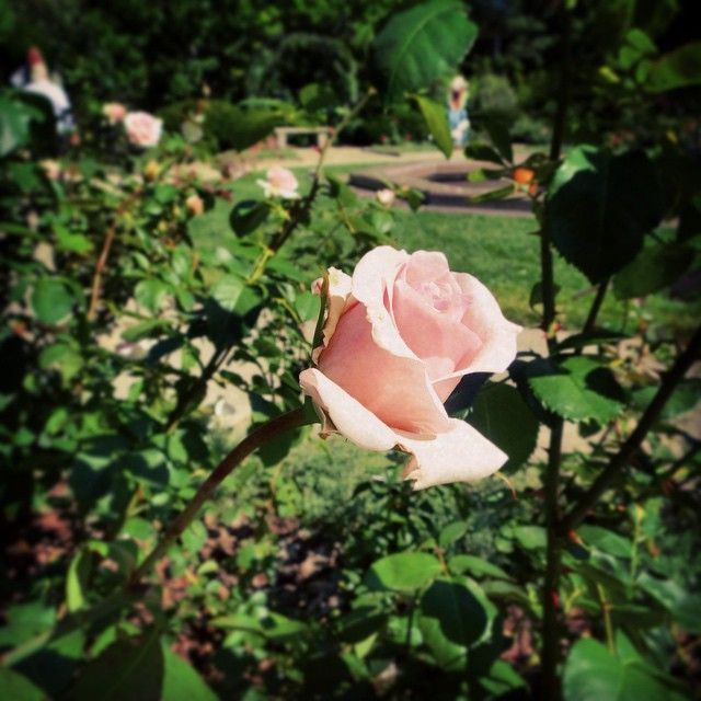 17 Best Images About Rose Petals And Thorns (#roseshards