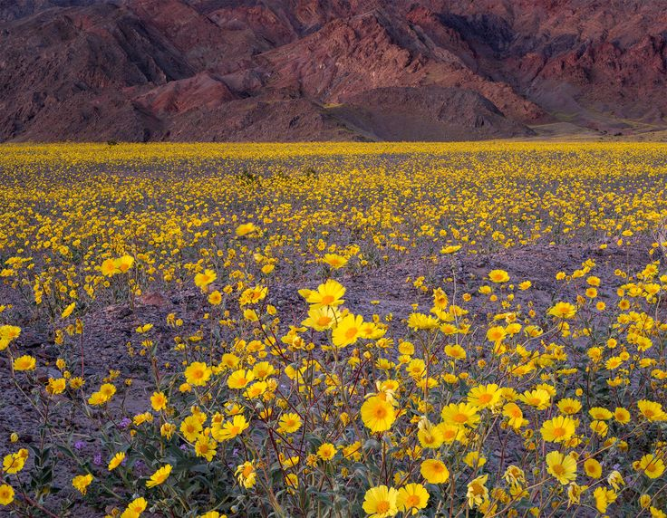 Picture of Death Valley National Park Desert gold, Geraea canescens, bloom in Death Valley following an El Niño winter.