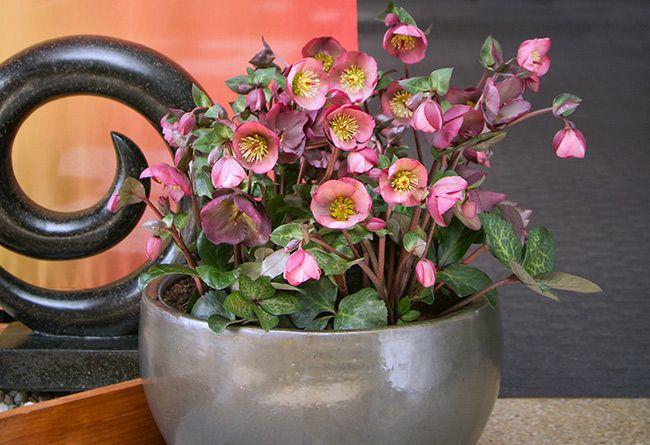 Hellebore Penny's Pink
