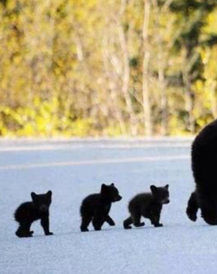 Oh no, too cute: Three MEGA MINI BAERS are running behind her mom!