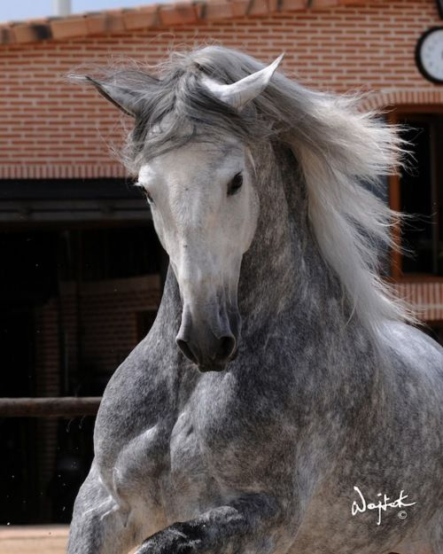 silver dapple beautySpanish Hors, Dapple Grey, Beautiful Hors, Grey Hors, Puree Spanish, Dreams Hors, Andalusian Horse, Silver Dapple, Animal