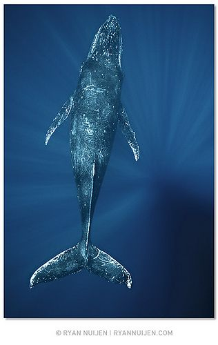 Humpback whale. Whales completely terrify me…however I am completely mesmerized. They are fascinating.