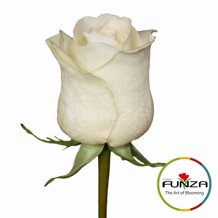 White Rose from Flores Funza. Variety: North Star, Availability: Year-round