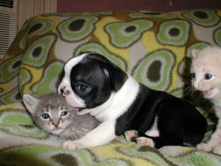YK attacking from the right: Puppies, Cat, Dogs, Friends, Funny Pics, Baby Boston Terriers, Ears, Kittens, Animal