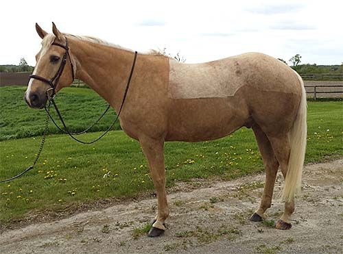 Reg'd Quarter Horse gelding Beautiful 11yr old reg'd QH. Harry is a 16.1h palomino with a solid build and correct conformation.
