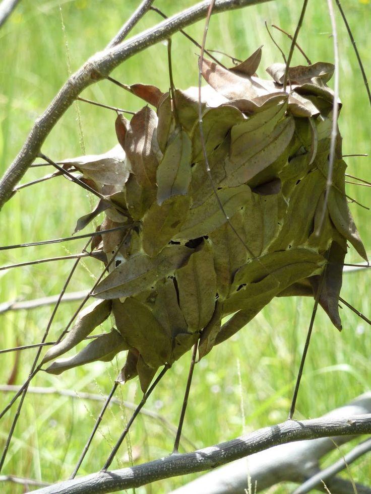 Weaver Ant Nest Oecophylla smaragdina