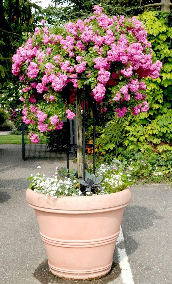 """Résultat de recherche d'images pour """"rosier en pot balcon"""