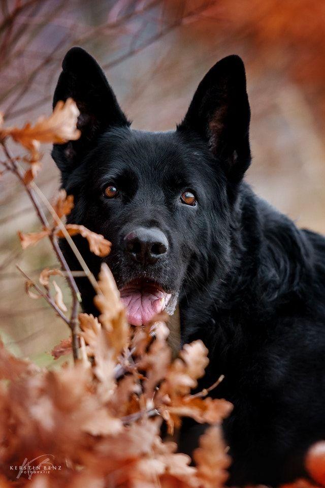 Schwarzer Schäferhund