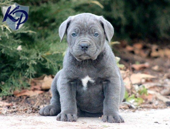 king corso puppies - Google Search