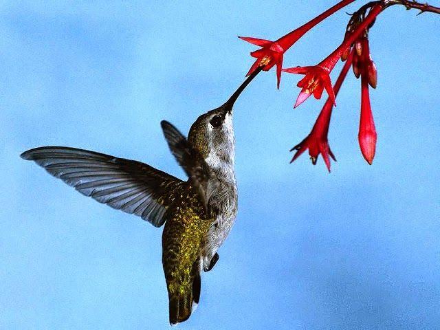 Inilah Jenis Burung Terkecil Di Dunia | Burung Nusantara