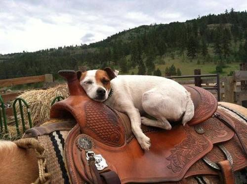 Oh boy...that was some cattle drive.  Wish my dogs would do this when we ride for long hours.