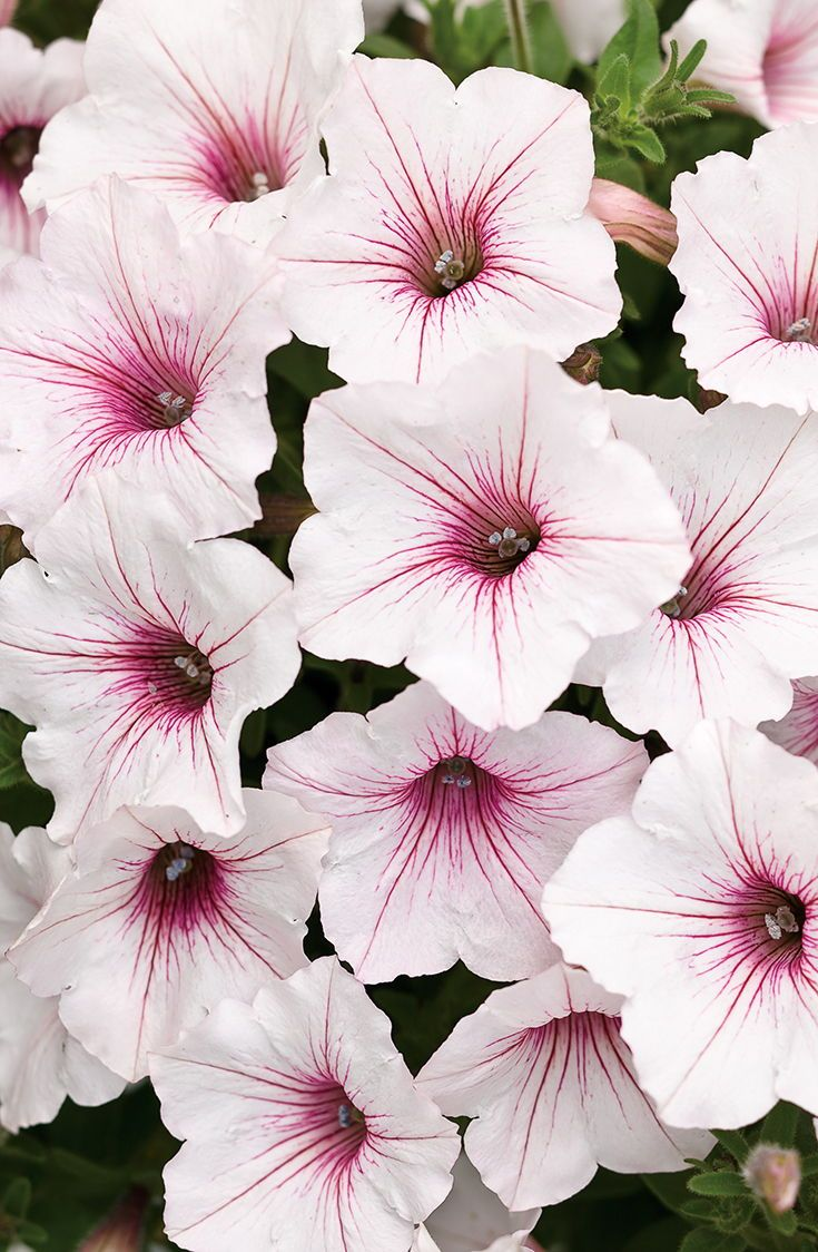 Supertunia Vista Silverberry Petunia Hybrid With Images