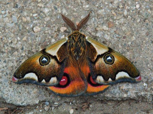 Saturniid moth (Polythysana cinerascens) Valparaiso cemetery by Niall Corbet, via Flickr
