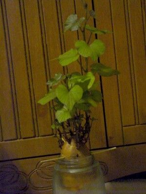 40 Best Images About Growing Sweet Potato Vines On