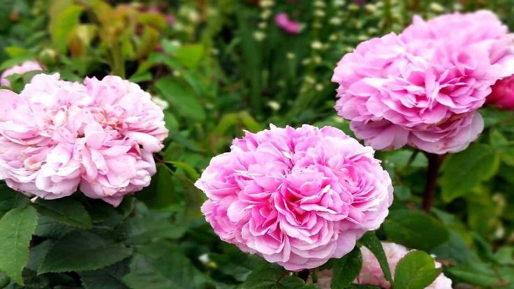 Романтический розовый сад. Аббатство Mottisfont. Великобритания Mottisfont Abbey Rose Gardens, графство Гемпшир Сад Моттисфонтского аббатства окружает большой особняк эпохи Тюдоров, который был передан Уильяму Сандису, управляющему королевским двором, королем Генрихом VIII после Роспуска монастырей в 1536 году. История Моттисфонта уходит корнями во времена англосаксов, что следует уже из его названия.