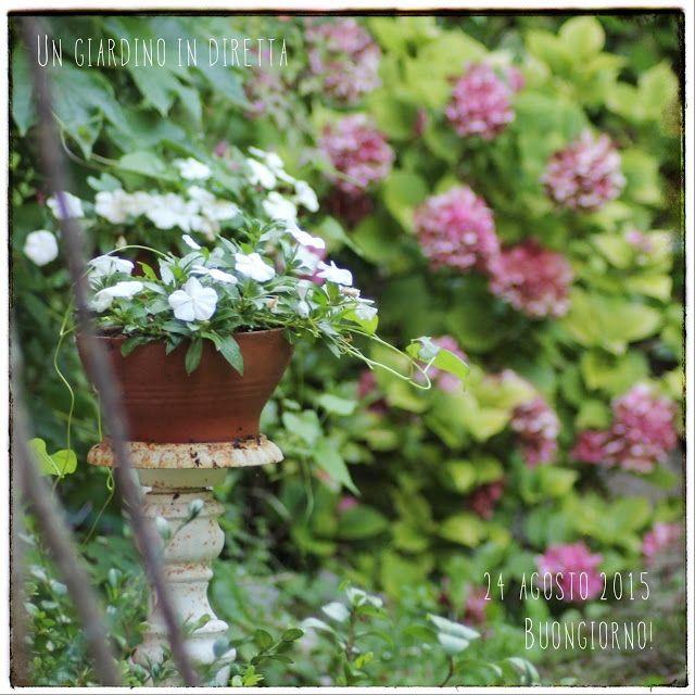In diretta dal giardino: fiori di agosto: pervinca del Madagascar (Catharanthus roseus), buongiorno giardinieri!  Leggi di più nel blog #giardino #giardinoindiretta #fiori #annuali