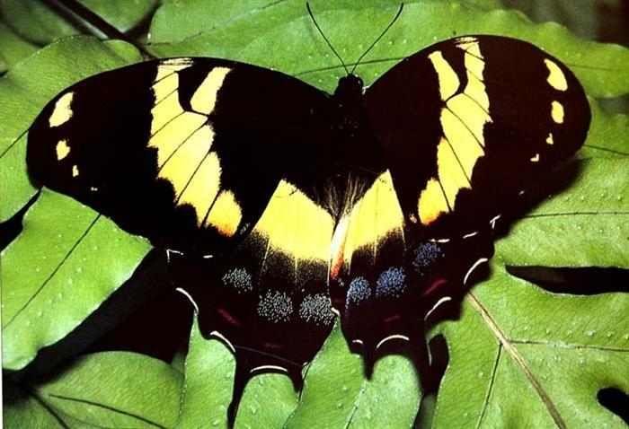 Mariposas  Nativa de Jamaica, la Papilio homerus es la especie de mariposa más grande del contienente Americano. Por desgracia, su exótica belleza y su gran tamaño la han convertido en una especie muy codiciada entre los coleccionistas. Los adultos llegan a alcanzar unos 15 cm de ancho y poseen alas de color oscuro con manchas amarillas. Esta mariposa suele habitar zonas remotas y despobladas.