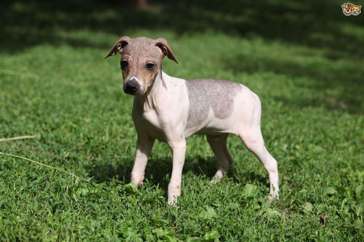 the-four-recognised-hairless-dog-breeds-524de9a2e98ec.jpg (1280×853)