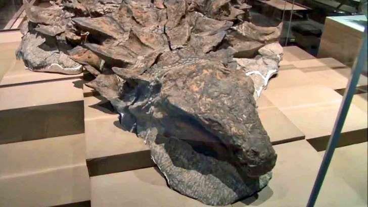 nodosaurus dinosaur fosil funnet i Alberta Canada