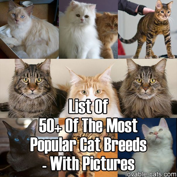 List Of 50+ Of The Most Popular Cat Breeds – With Pictures	►►	http://lovable-cats.com/most-popular-cat-breeds-with-pictures/?i=p
