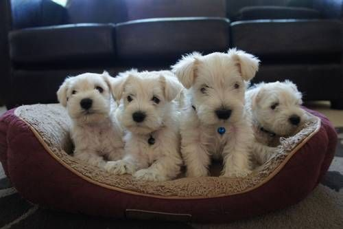 *** WHITE Miniature Schnauzer Pups ***