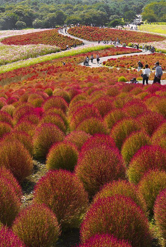 Hitachinaka Seaside Park, Ibaraki Prefecture, Japan. Autumn.