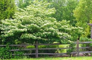 C zones 3-7 Lovely Pagoda Dogwood.  This dogwood variety is a bit heartier than other flowering dogwood; better tolerates the cold and wind; and thrives in moist soil and partial shade. Ranging from 15-30′ in height with an equal spread in its canopy, Pagoda Dogwoods
