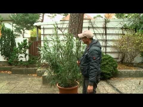 Die Besten 17 Ideen Zu Oleander Schneiden Auf Pinterest | Oleander ... Oleander Als Zimmerpflanze Richtig Pflegen