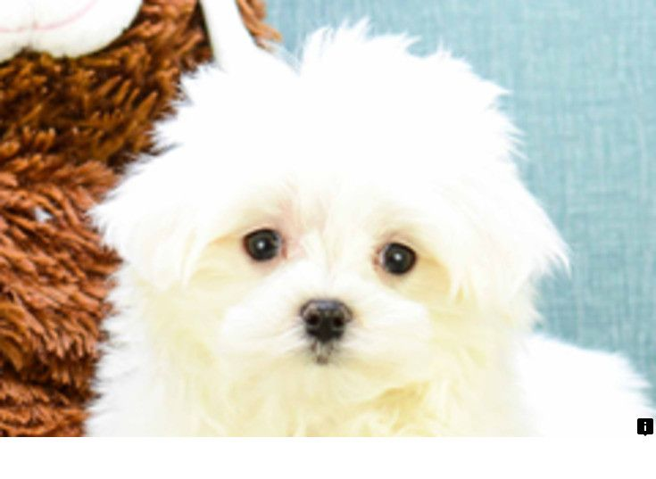 Discover More About Maltese Puppy Simply Click Here To Learn More