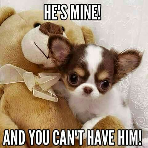 ... said the bear. ~Chihuahua #chihuahuadaily #teacupdogs #teacupchihuahua …