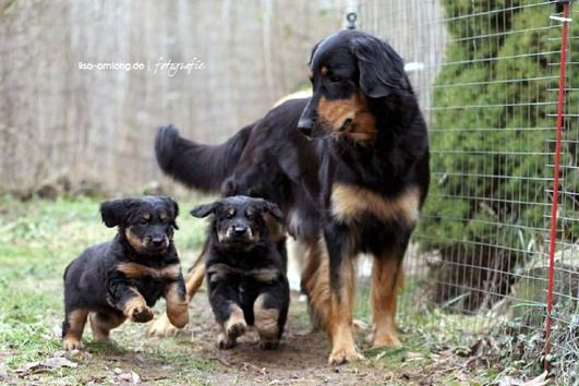 Know about Hovawart   Know about Dog