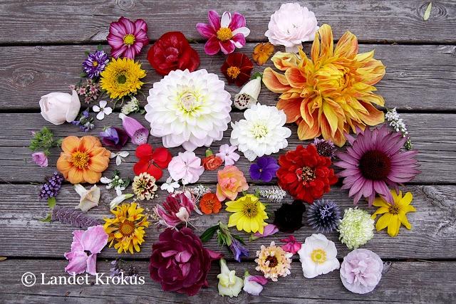 september flowers @Hanne Gundersen Krokus