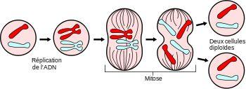 Mitose — Wikipédia